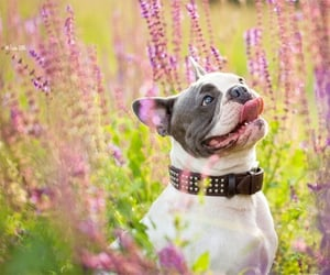 animals, bulldogs, and pets image