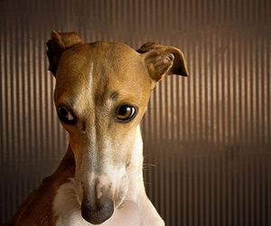 dog, fawn, and italian greyhound image