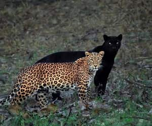 animal, black panther, and leopard image
