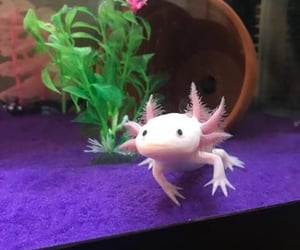 aesthetic, animal, and axolotl image