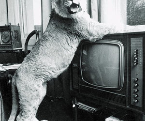 lion, living, and television image