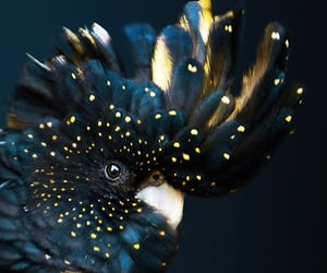 black and gold and Cockatoo image