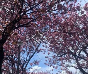 blossom, cherry blossom, and cherry image