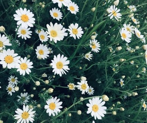chamomile, green, and june image