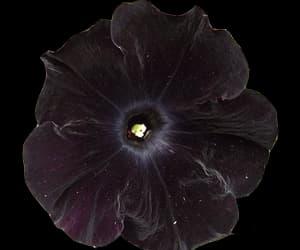 transparent-flowers:  black velvet petunia  (via la-francaise)