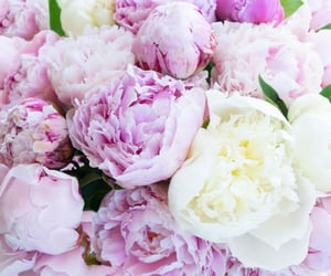 Types Of Peonies, White, and Pink Peony