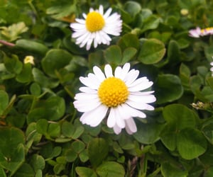 daisy, flower, and may image