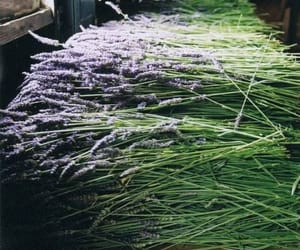 lavender fresh picked and very pungent image