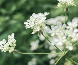fairytale, plants, and cow parsley image