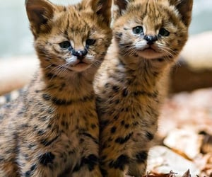 animals, serval, and felines image