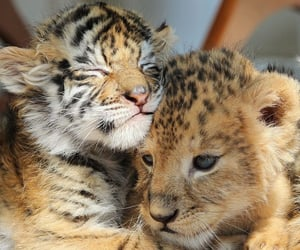animals, sweet, and tiger image