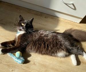 cat, fatcat, and fluffycat image