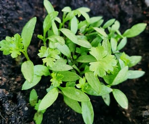 dirt, herb, and parsley image