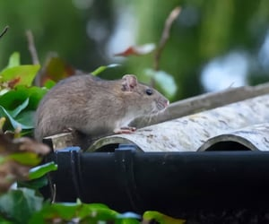 control, rats, and singapore image
