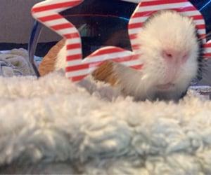 guinea pig image