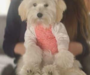 dog, maltese, and cachorro image