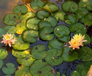 lake, lilypads, and lotus image
