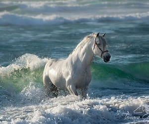 Quelle: tamaragoochphoto.com / Tamara Gooch Equine Photography and Horse Photo Workshops  Bolero  II PRE stallion on the beach in Mexico