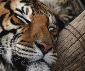 archive, tumblr, and tiger image