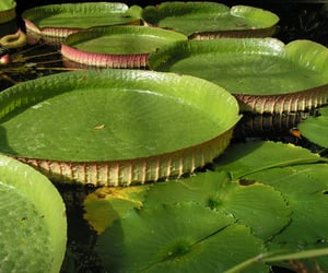 aesthetic, green, and lily pads image
