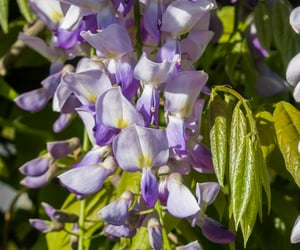 botany, flowers, and wisteria image