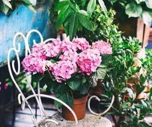 pink hortensia image