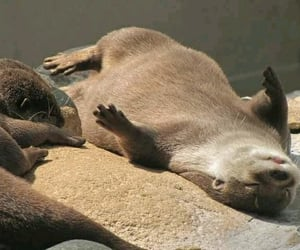 nutria and otter image