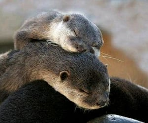 otter and nutria image