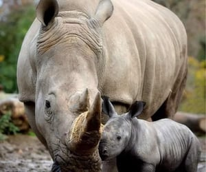 Mother Rhino  and  baby.