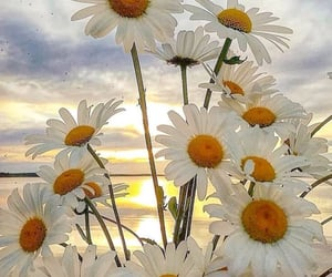 daisies image