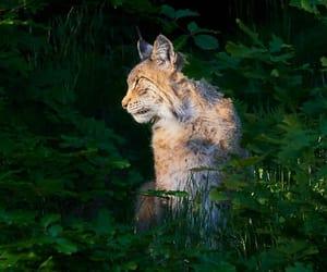Phone wallpaper lynx, animal, predator HD phone background