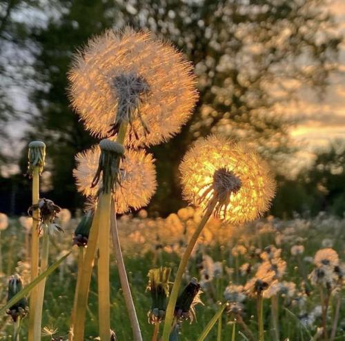 dandelion, dandelions, and light image