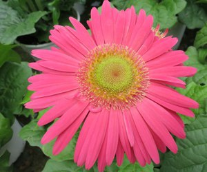 daisy, pink, and pink daisy image