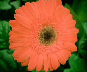daisy, pink, and daisies image