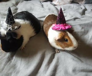 guinea pig and witchpig image