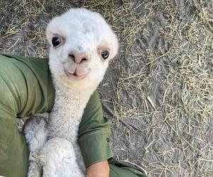 animal, alpaca, and cute image