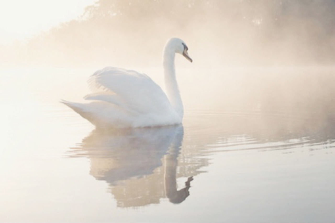 Swan, white, and nature image