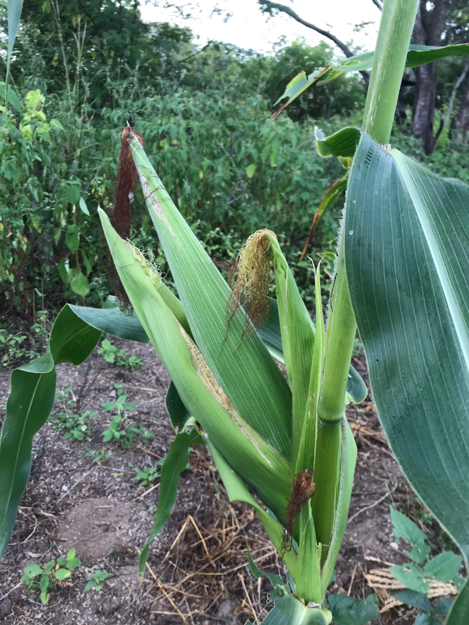 autoral, nature, and corn image