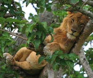 a lion lying o a branch of a tree