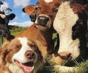 animal, dog, and cow image