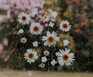 daisies, daisy, and floral image