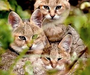 Jungle cat Cubs