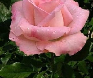 The rose, after the rain