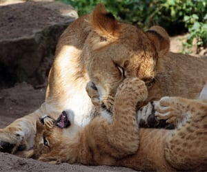 lions, theme picture, and nature image