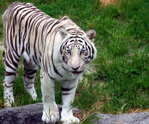 white, white tiger, and tiger image