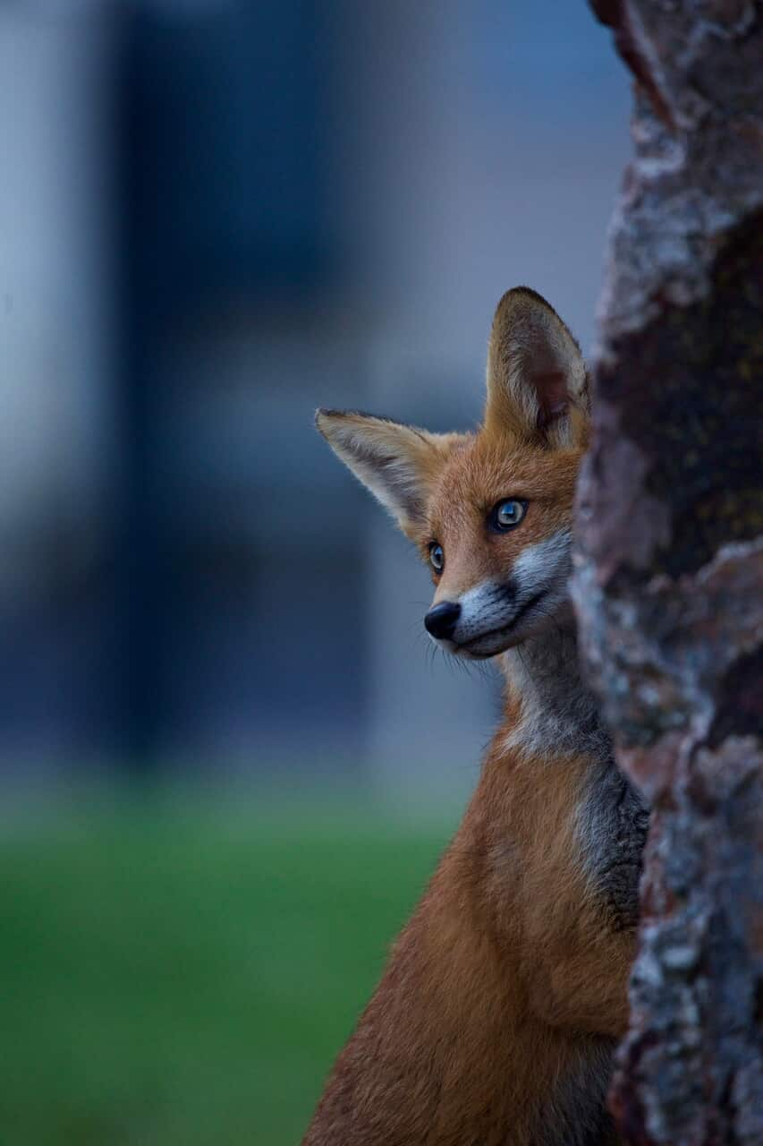 animals, beautiful, and fox image