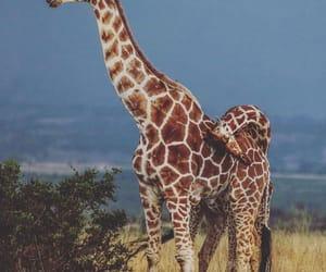 conservation, giraffe, and giraffes image