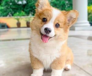 corgi, puppy, and so sweet image