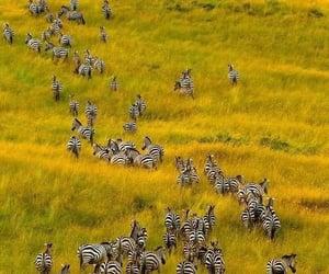 Migration, Maasai mara national reserve. Kenya