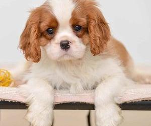 Cavalier King Charles Spaniel for Sale | Dav Pet Lovers